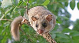 Noční veverky: Přežijí jen tlouštíci
