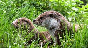 Chytré a šikovné: Vydry umí opisovat