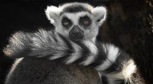 Vědci v šoku: Nejznámější lemuři vymizeli