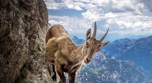 Čtyřnohý alpinista: Odvážný kozorožec