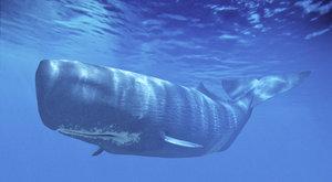 Kytovci na pláži: Záhada velrybích ztroskotání