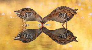 Červený zobák: Tajemný obyvatel rákosin