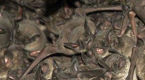 Nelétající netopýři radši chodí pěšky