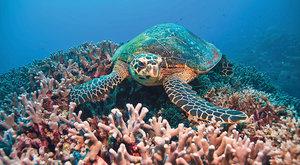 Šlechtění korálů: Nová naděje pro útesy