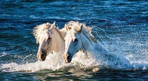 Koně: Divocí i zdivočelí