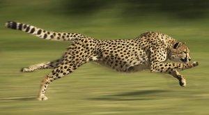 Gepardí ucho: Tajemství nejrychlejší kočky