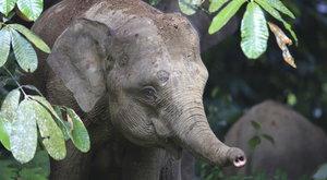 Záhadný trpaslík: Kde se vzali sloni na Borneu?