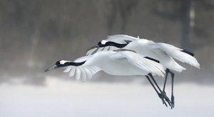 Jeřáb japonský: Opeřený tanečník