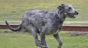 Psí plemena: Irský vlkodav, největší psí plemeno na světě