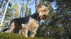 Psí plemena: Yorkšírský teriér, zvědavec a tvrdohlavec