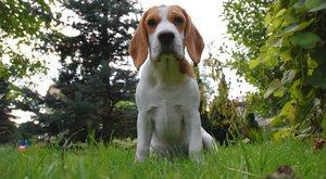 Psí plemena: Bígl, tančící pes
