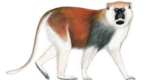 Staronový kočkodan: Velký omyl zoologů