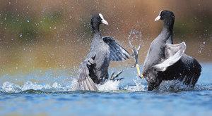 Foto ABC: Cákající rváči