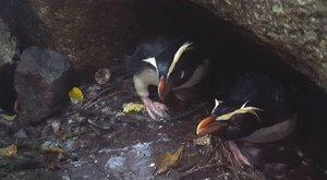 Tawaki projekt nakoukl pod křídla skrytých tučňáků