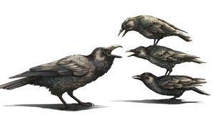Agresivní vrány útočí na větší ptáky