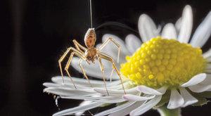 Pavouci vzduchoplavci: Babí léto využívá elektřinu