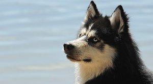 Psí plemena: Sibiřský husky, závodník psích spřežení