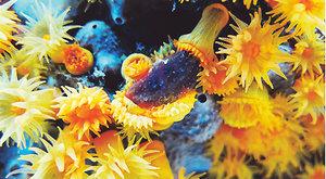 Souboj žahavců: Koráli proti medúzám