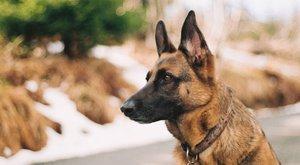 Psí plemena: Německý ovčák, všestranný a pracovitý