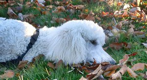 Psí plemena: Pudl, historická psí záhada