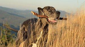 Psí plemena: Německá doga, největší pes světa