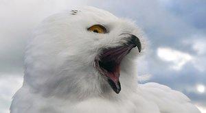 Proti vlkům: Statečné sovice brání hnízdo
