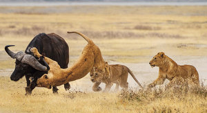 Poražený král: Buvol versus lev