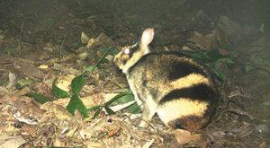Tajemný pruhovaný králík: Lapený moderní technikou