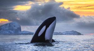 Smrtící dědictví: Kosatky na pokraji vyhynutí