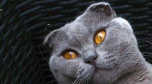 Kočičí plemena: Skotská klapouchá kočka - kdo jí ohnul uši?