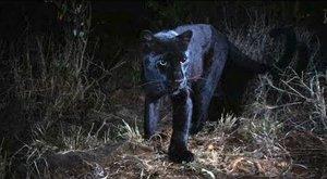 Melanismus: Černé kočky, které nenosí smůlu