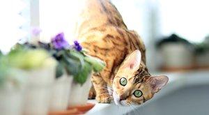 Kočičí plemena: Bengálská kočka štěká!