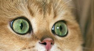 Kočičí plemena: Britská kočka je pravá dáma