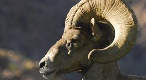 Ovce tlustorohá zůstává životaschopná