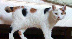 Kočičí plemena: Manská kočka bez ocasu