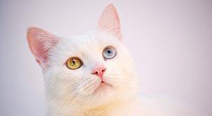 Kočičí plemena: Turecká angora, nejstarší kočičí plemeno na světě
