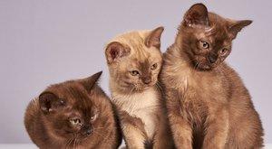 "Kočičí plemena: Barmská kočka ""supalak"" - akrobatka z Thajska"