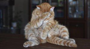 Kočičí plemena: Munchkin - kočka nebo jezevčík?
