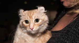 Kočičí plemena: Americký curl ušatý jako výr