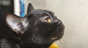 Kočičí plemena: Bombajská kočka je bomba
