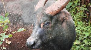 Tamarau: Návrat zakrslých buvolů