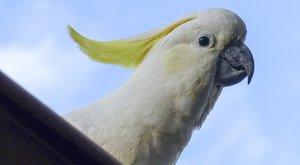 Tančící papoušek z internetu: Vědecká senzace