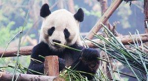 Pandy jsou nám podobné, proto je milujeme