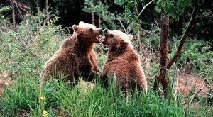 Nebezpečné lovy: S foťákem na medvěda