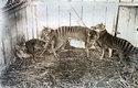 Poslední vakovlk uhynul v zoologické zahradě v roce 1936. Až tehdy začali v Tasmánii vakovlka chránit. Pozdě.