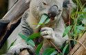 U la lá, koala!