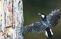 Strakapoud kokardový obývá borové lesy na jihovýchodě Spojených států