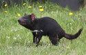 Ďábel medvědovitý: Čertík z Tasmánie