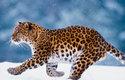 Levhart má devět poddruhů, z nichž každý čelí jinému stupni ohrožení
