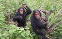 Jane Goodallová začala zkoumat společenské struktury mezi šimpanzi v parku Gombe a zjistila neuvěřitelné věci